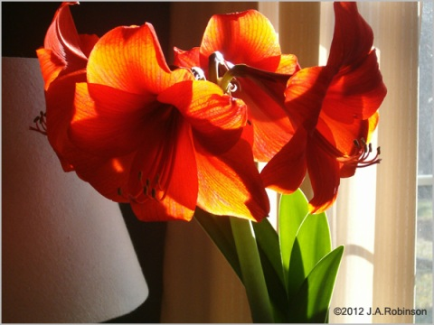 Four giant amaryllis blooms, nearly filling the frame, are brilliantly backlit by sunlight.
