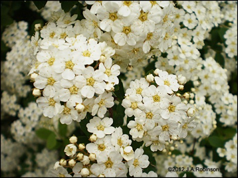 Photo of a close-up of a spirea bloom