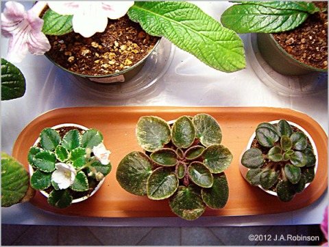 Photo of 3 miniature African Violets whose pots are lined up in an oblong terra-cotta tray.