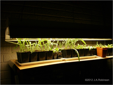 Photo of seedlings growing under a shoplight