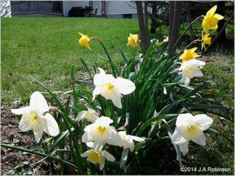 RA Daffodils