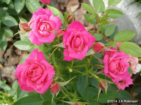 Minature Roses