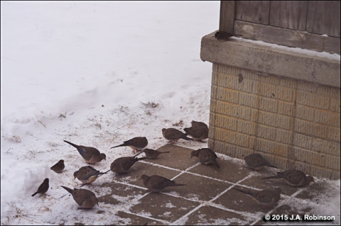 Feeding Doves