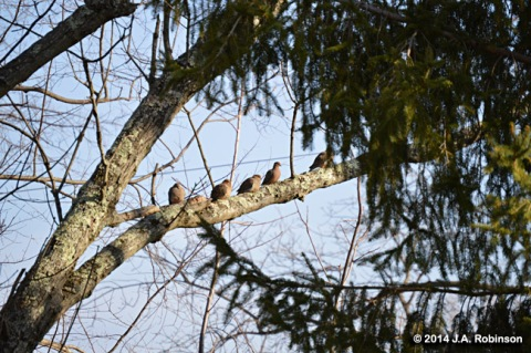 Mourning Doves on Branch