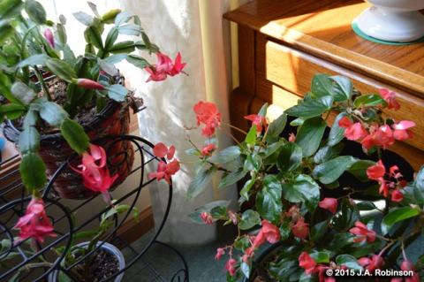 Cactus and Begonia