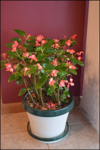 Begonia After