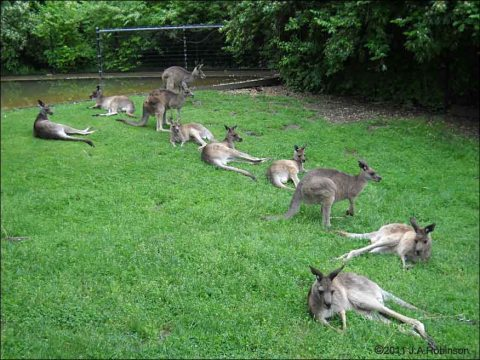 2011_06_10-kangaroo-group