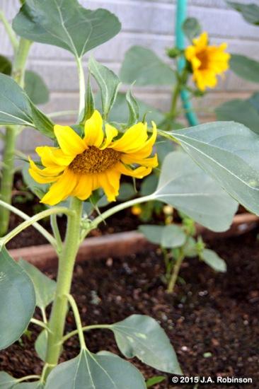 Bent Sunflower