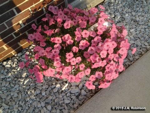 2015_10_07 Amish Petunias