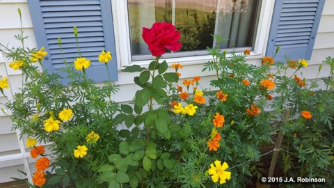 2015_10_23 Rose and Marigolds
