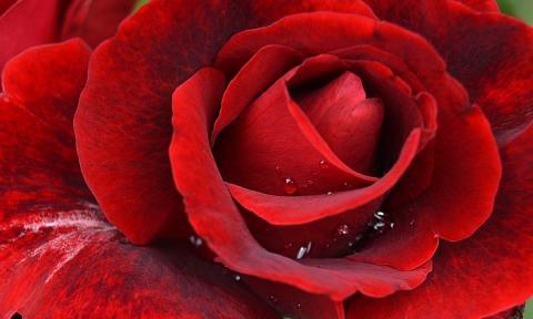 DG_Red Rose Closeup