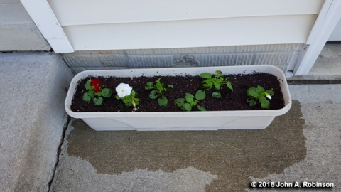 Planted Pansies