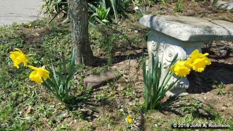 2016_04_29 Four Daffodils