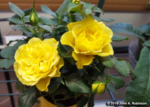 Mini Yellow Rose Closeup