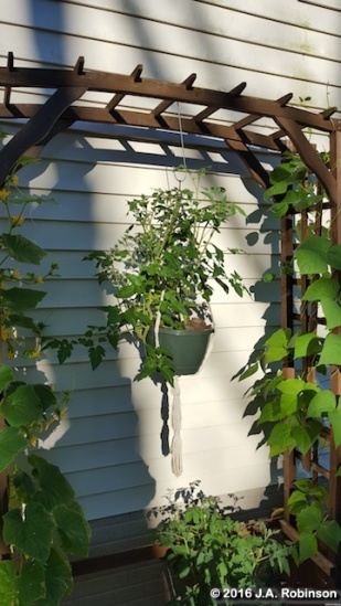 2016_07_20 Hanging Tomato Plant