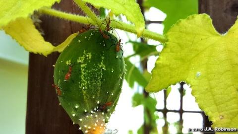 Buggy Cucumber