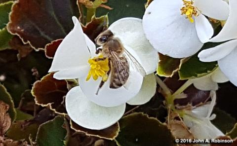 bee-on-begonia